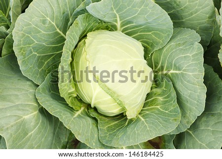 Cabbage head.
