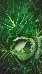 Cabbage is a leafy green, red, or white biennial plant grown as an annual vegetable crop for its dense-leaved heads. It is descended from the wild cabbage, and belongs to the