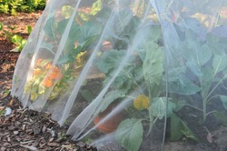 Cabbage is covered by a horticultural fleece against a cabbage root fly (Delia brassicae)
