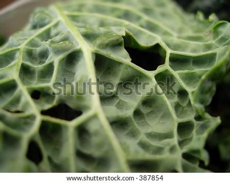 Cabbage leaf - stock photo