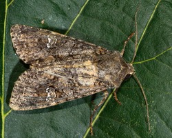 Cabbage moth moth (Mamestra brassicae). British insect in the family Noctuidae, the largest British family moths in the order Lepidoptera