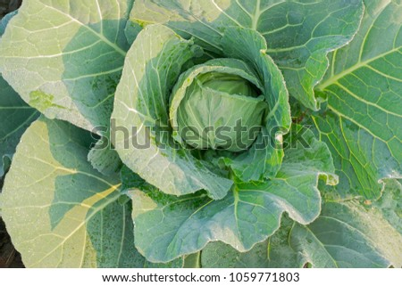 Cabbage or headed cabbage is a leafy green, biennial plant grown as an annual vegetable crop for its dense-leaved heads. It is a popular agricultural product in rural west bengal, India