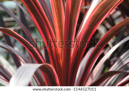Cabbage Palm Cordyline Australis red  Stockfoto ©
