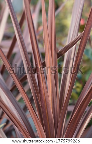 Cabbage palm Red Star leaves - Latin name - Cordyline australis Red Star Stockfoto ©