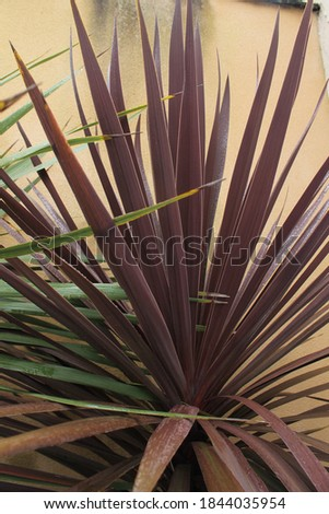 Cabbage palm Red Star leaves - Latin name - Cordyline australis Red Star plant isolated Stockfoto ©