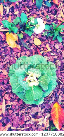 Cabbage plants, Cruciferous vegetables on ground floor for decorate with dry leafs