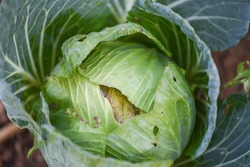 Cabbage rotten and damaged by insects pests / Organic vegetables farming and agriculture industry nontoxic Clean food concept