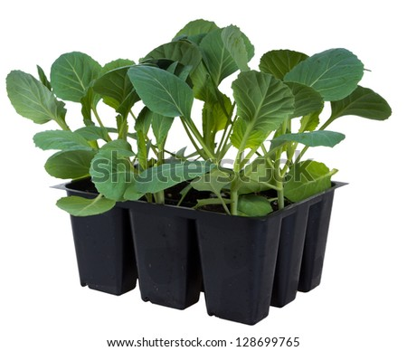 Cabbage seedlings in cassettes to 9 cells isolated on white background