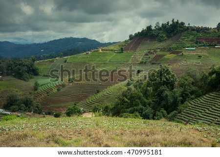 Cabbage terrace field on the hill in Monjam, Chiang Mai, Thailand #470995181