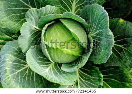 cabbage vegetable in field background