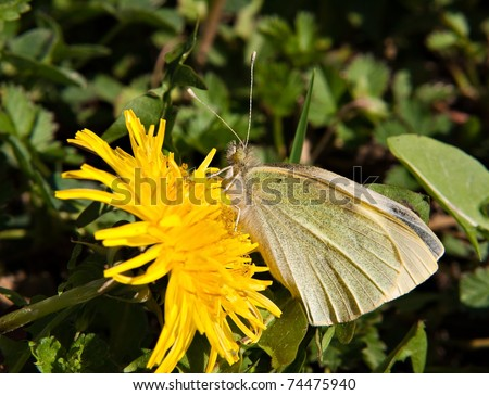Cabbage white butterfly on yellow dandelion flower