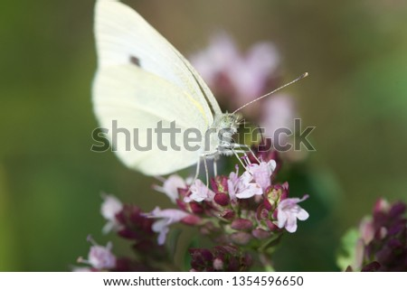 Cabbage White Butterfly (Pieris rapae): a single butterfly on flowering Basil plant