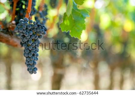 cabernet sauvignon grape bunch ready for harvest in california vineyard