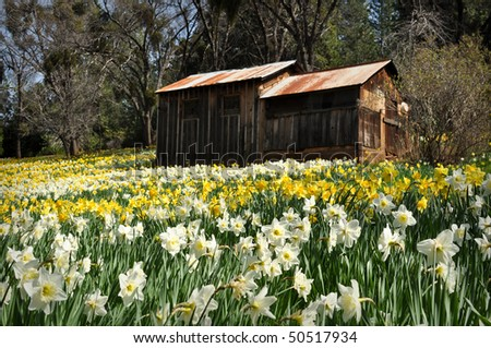 Cabin at Daffodil Hill Tourist Attraction California in Spring