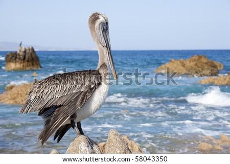 Cabo San Lucas Mexico Pelican