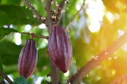 Cacao chocolate fruit harvest theme. Two red cocoa pods hang on tree