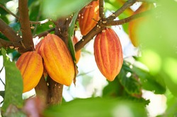 Cacao harvesting theme. Orange color cocoa pods hanging on tree in sunlight