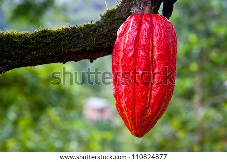 cacao pod on tree (theobroma cacao) - stage of ripening