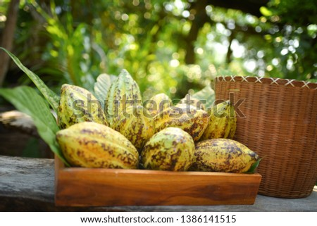 Cacao pods cocoa pods organic chocolate farm hawaii Dry cacao seeds lay on green leafs with colorful cocoa pods #1386141515