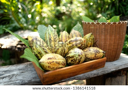 Cacao pods cocoa pods organic chocolate farm hawaii Dry cacao seeds lay on green leafs with colorful cocoa pods #1386141518