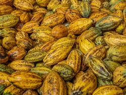 Cacao pods cocoa pods organic chocolate farm Thailand, Cacao Thailand pods, Fresh cocoa pod cut exposing cocoa seeds, with a cocoa plant in Thailand, Macro of pods.