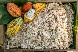 Cacao pods cocoa pods organic chocolate farm Thailand, Cacao Thailand pods, Fresh cocoa pod cut exposing cocoa seeds, with a cocoa plant in Thailand.