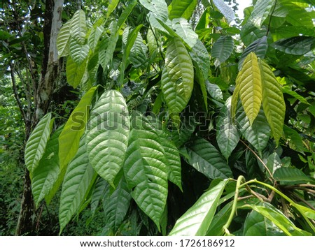 Cacao tree (Theobroma cacao, cocoa, coklat). Its seeds, cocoa beans, are used to make chocolate liquor, cocoa solids, cocoa butter and chocolate. Cacao (Theobroma cacao) belongs to the genus Theobroma