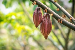 Cacao tree with cacao pods in a organic farm.