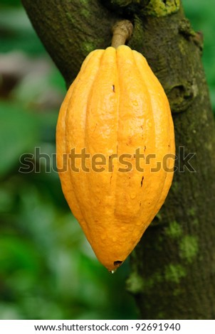 Cacao with tree