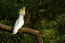 Cacatua galerita - Sulphur-crested Cockatoo sitting on the branch in Australia. Big white and yellow cockatoo with green background.
