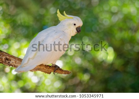 Cacatua galerita - Sulphur-crested Cockatoo sitting on the branch in Australia. Big white and yellow cockatoo with green background