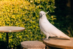 Cacatua galerita - Sulphur-crested Cockatoo sitting on the table in summer day Australia. Big white and yellow cockatoo with green backgroundand yellow flower.
