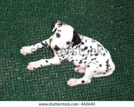 Dalmatian Puppies on Cachorro Dalmata   Dalmatian Puppy Stock Photo 460640   Shutterstock