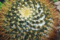 cactas, Eriocactus leninghausii, Mammillaria scrippsiana
