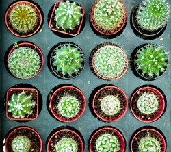 cactas small plants ready for sale