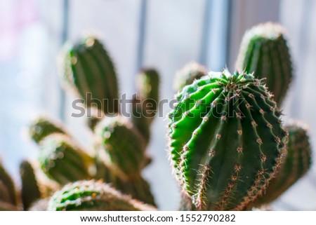 cacti on the windowsill closeup