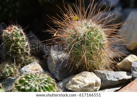 cactus #617166551