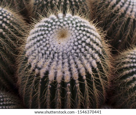 Cactus - a desert plant that is resistant to sunlight, drought, is a hygroscopic plant. There are many types, some types of spikes, danger, beautiful flowers in people decorated in different places o