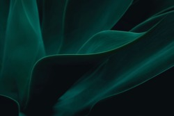 Cactus Agave attenuata soft details texture. Natural abstract, delicate and fluid shapes lines. Highlight for a focused leaf edges and blurred background. Colored in dark green. Dark and moody feel.