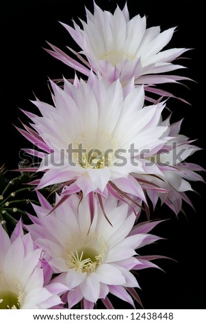 Cactus blossoms on black background