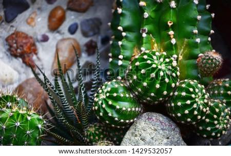 Cactus, Cactus thorns, Close up thorns of cactus, Cactus Background   #1429532057