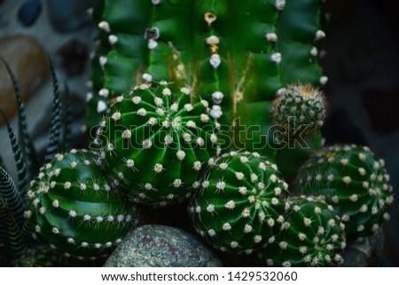 Cactus, Cactus thorns, Close up thorns of cactus, Cactus Background   #1429532060