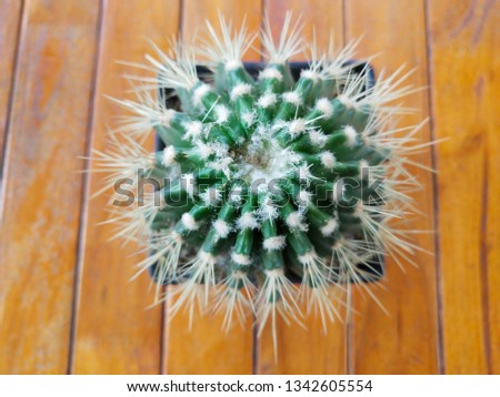 Cactus, Cereus shrub type hexagonus (L.) Miller In the family of Cactaceae, stems, succulent, stems and branches, round, deep, wavy, grooves, around 3–6 ridge on the ridge, with a thorn spacing of 1-2 #1342605554