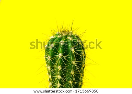 Cactus close-up. Home indoor plants with thorns on Yellow background. A succulent.
