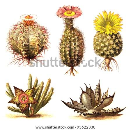 Cactus collection / vintage illustration from Meyers Konversations-Lexikon 1897