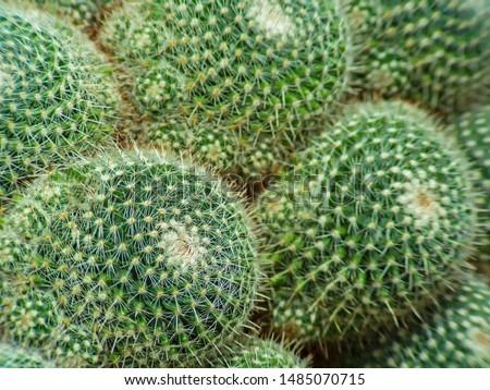 cactus (Echinocactus grusonii) cluster. well known species of cactus #1485070715