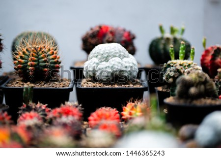 Cactus farm with close-up of succulent and cactus collection in pot. It' s natural background from little plants.  #1446365243
