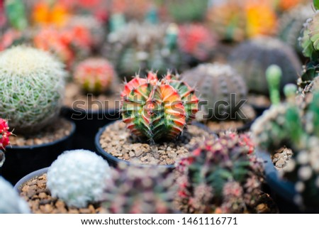 Cactus farm with close-up of succulent and cactus collection in pot. It' s natural background from little plants.  #1461116771