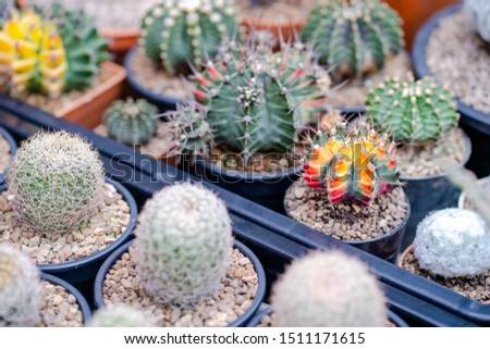Cactus farm with close-up of succulent and cactus collection in pot. It' s natural background from little plants.  #1511171615