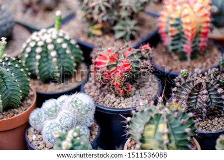 Cactus farm with close-up of succulent and cactus collection in pot. It' s natural background from little plants.  #1511536088
